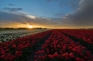 Tulpen in Nederland van