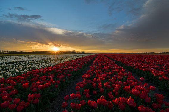 Tulpen in Nederland van Jos Pannekoek