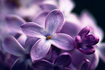 De lila van D.R.Fotografie