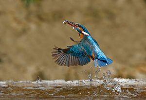Ijsvogel vangt visje van