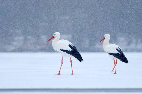 2 Ooievaars op het ijs in de sneeuw van