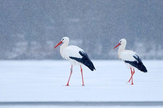 2 Ooievaars op het ijs in de sneeuw
