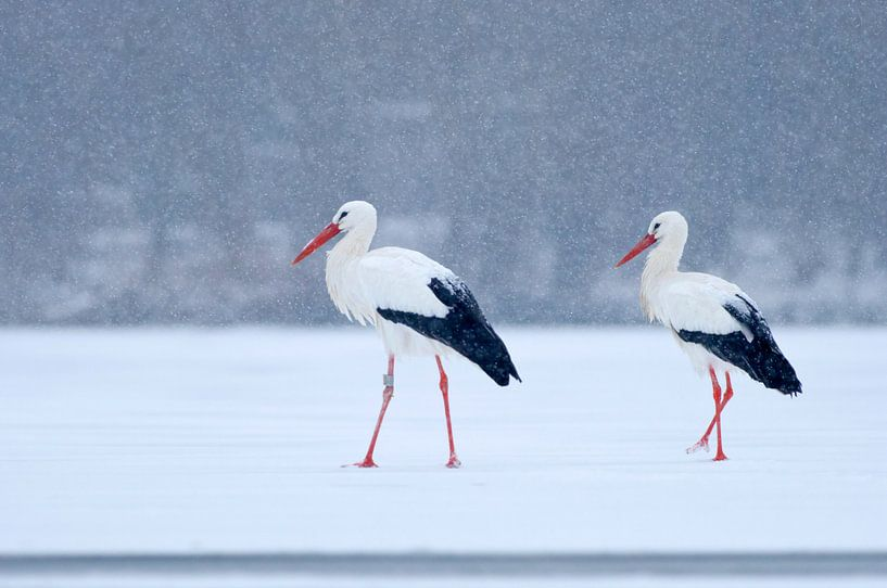 2 Ooievaars op het ijs in de sneeuw van Remco Van Daalen