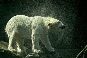IJsbeer schudt het water van zich af.