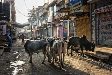 Heilige Indische koeien bevinden zich in de groep op de stadsstraat. Jaisalmer ligt in het hart van  van Tjeerd Kruse