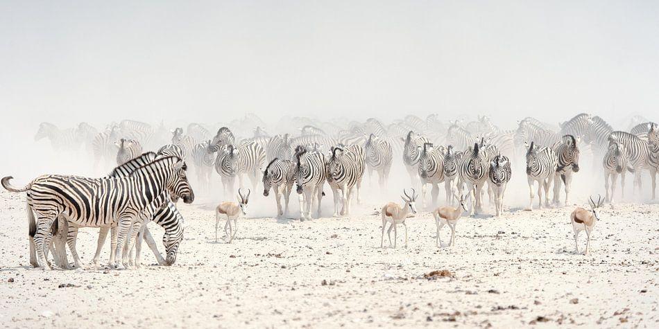 zebrakudde op de zoutpan van  Etosha