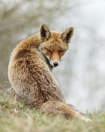 Rode vos van