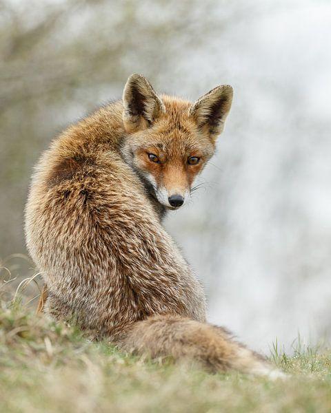 Rode vos van Menno Schaefer