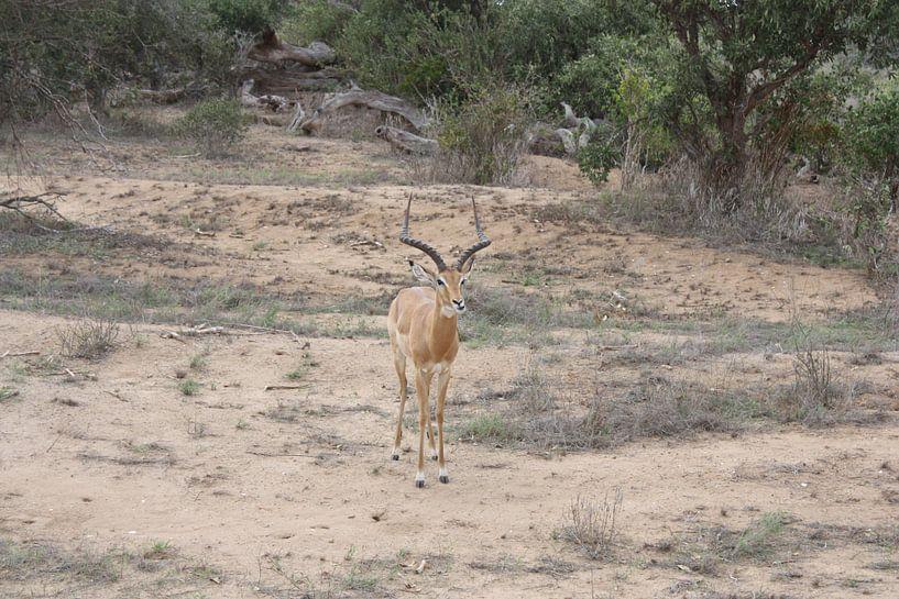 Gazelle van Gilian Fijen