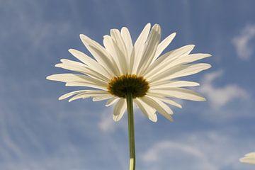 eine blühende Daisy Nahaufnahme und ein blauer Himmel im Hintergrund. von Angelique Nijssen
