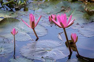 Pink water lilies in a pond in Mai Chau town, Vietnam van
