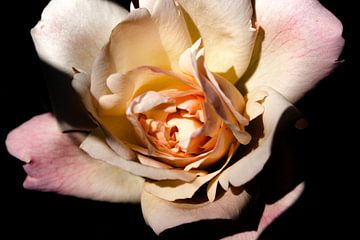 roos von Frencis van Run