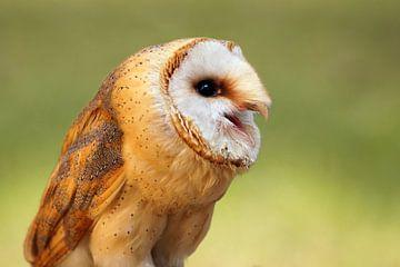 Schleiereule - Tyto alba von Ingo Rasch