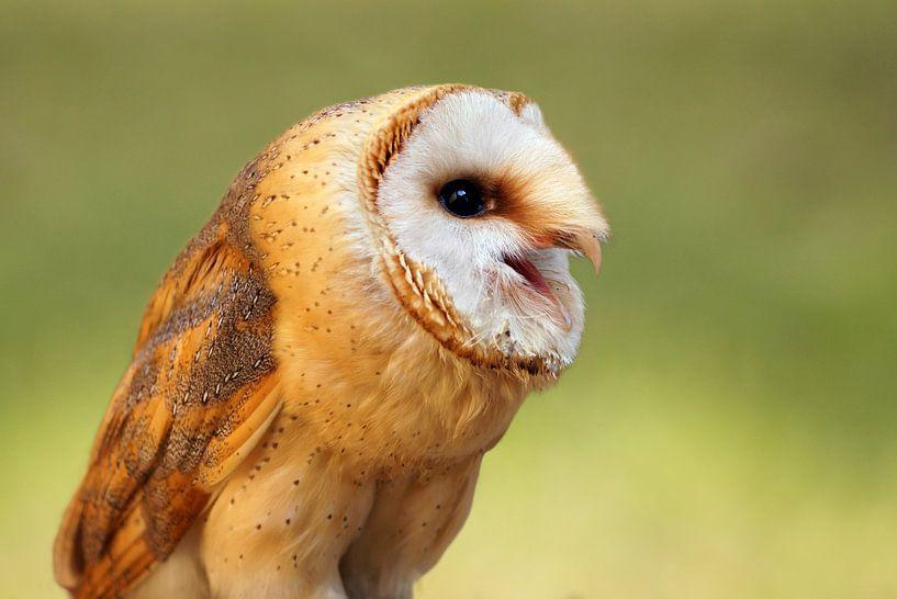 Schleiereule - Tyto alba van Ingo Rasch