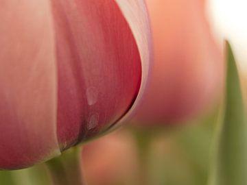 Tulp 2 van Dick Vermeij