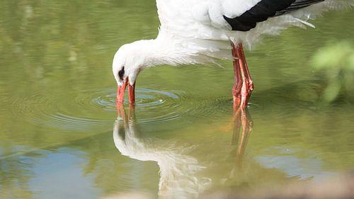 Ooievaar met spiegeling van Barend de Ronde