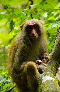 Makaak moeder en haar jong in de Chinese bossen
