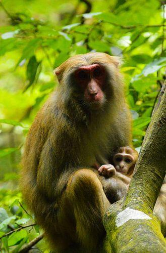 Makaak moeder en haar jong in de Chinese bossen van