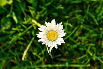 De beroemde bloem Magriet van Maurits Simons