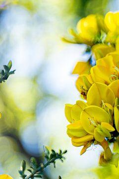 Gelbe Blumen in Nahaufnahme von Dieuwertje Van der Stoep