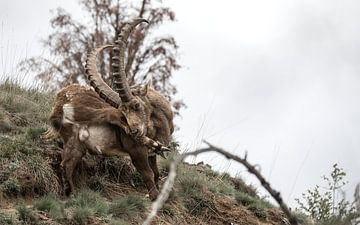 Alpen Steenbok van Dominik Imhof