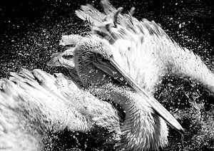 Badderende pelikaan von John van Weenen