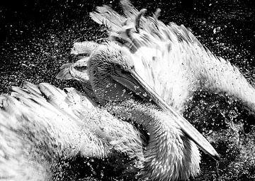 Badderende pelikaan van John van Weenen
