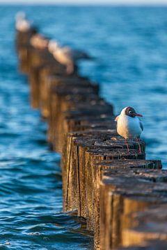 Buhnen und Lachmöwe am Strand von Zingst von Christian Müringer