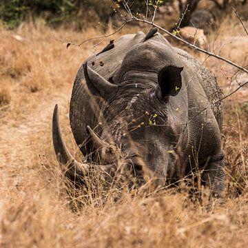Neushoorn - Rhinoceros van Rob Smit