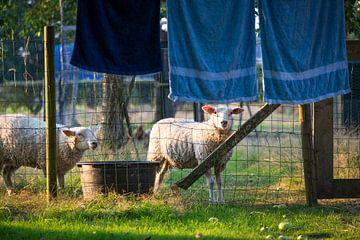 Schapen en en drogende handdoeken aan waslijn van Ger Beekes