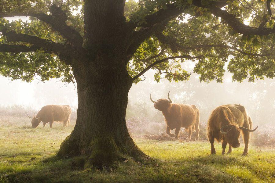 Schotse Hooglanders tijdens Mistige Ochtend van Albert Dros