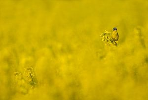 Gele Kwikstaart (Motacilla flava) in koolzaadveld van Beschermingswerk voor aan uw muur
