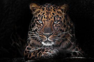 Fernöstlicher Leopard Nahaufnahme Porträt eines leuchtend roten Tieres.dunkler, schwarzer Hintergrun von Michael Semenov