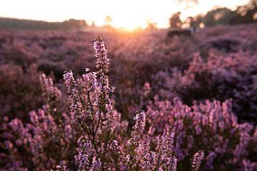 Heide in Blütezeit von Lieke Roodbol