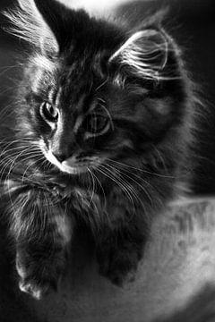 Maine Coon kitten van