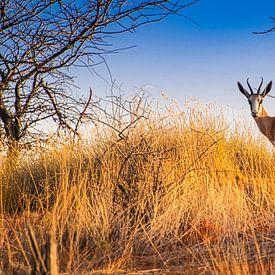 Springbok in de vroege ochtend in de Kalahari woestijn, Namibië van Rietje Bulthuis