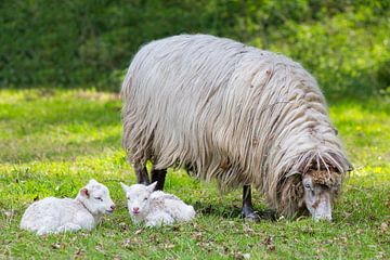Moeder schaap met twee witte lammetjes in wei van Ben Schonewille