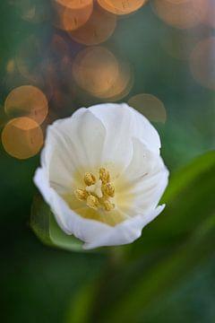 weiße Tulpe mit Bokeh von Lindy Schenk-Smit