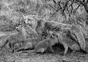 Fuchsmutter gibt ihren Jungen zu trinken von Patrick van Bakkum