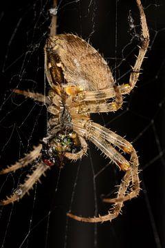 Spinne (Araneae), die gerade eine Fliege gefangen hat. von Joost Adriaanse