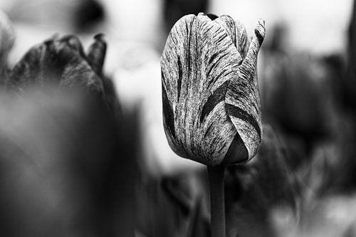Tulip in Black & White - 2017 von Timmy Bouwmann