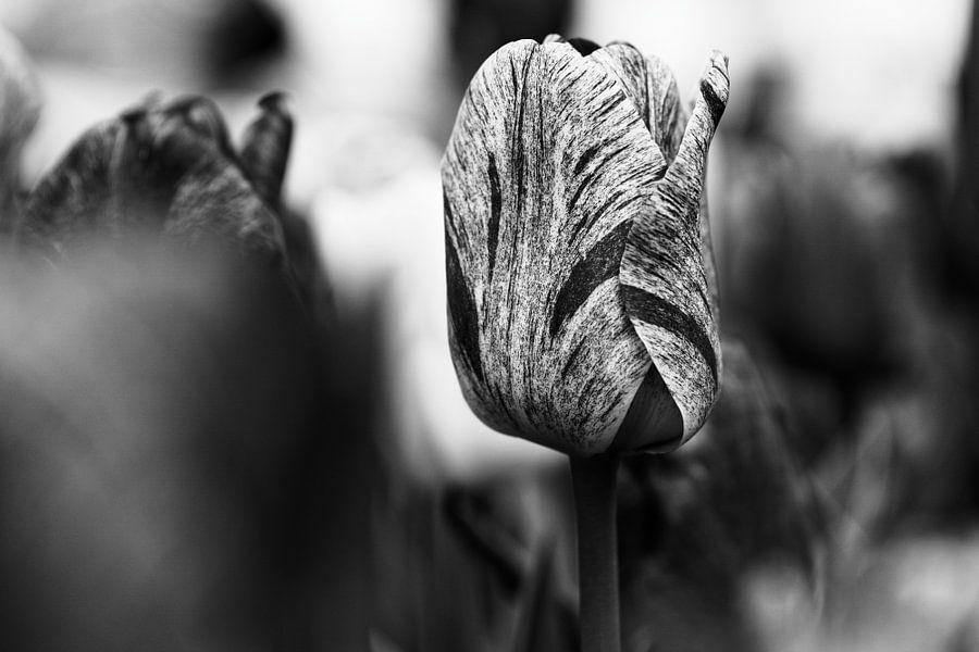 Tulip in Black & White - 2017 van Timmy Bouwmann