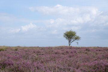 Zomers heideveld met een enkele boom van FHoo