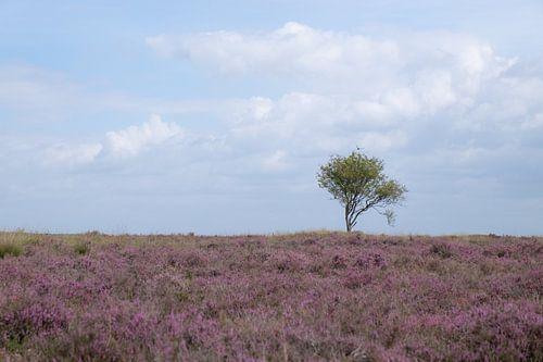 Zomers heideveld met een enkele boom