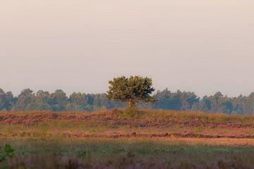 Einsamer Baum auf der Heide von Tania Perneel