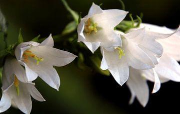 Een close-up foto van witte bloemen van