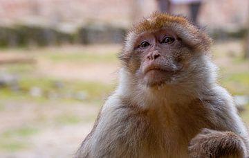 Berber monkey sur Marlous en Stefan P.