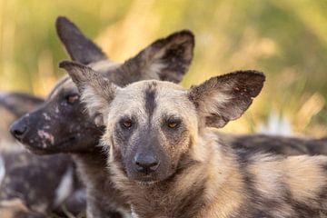 hyènes sur Dennis Eckert