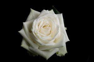 Witte roos op een zwarte achtergrond