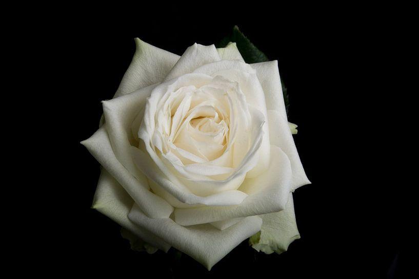 Witte roos op een zwarte achtergrond van Arjen Schippers